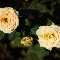 Розы :: TATYANA PODYMA