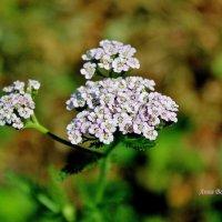 Мой любимый сорнячок в саду. :: Восковых Анна Васильевна