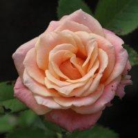 Мамина роза :: Анна Иларионова