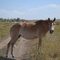 Конь пустыни...в Бетпак Дале. :: Георгиевич