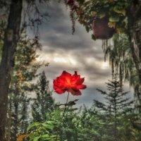 Аленький цветочек :: Олег Каплун