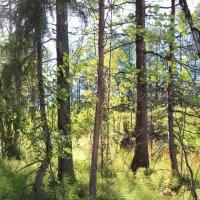 Лесные ковры :: Ольга