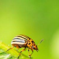 Колорадский жук :: Alex Bush