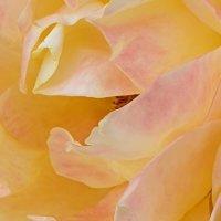 Макро осенней розы :: Александр Скамо