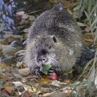 А эта мускусная крыса В водице любит порезвиться. :: Дмитрий Балашов