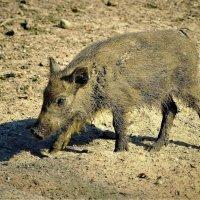 Из маленького поросёнка- всегда вырастает большая свинья! :: Владимир Манкер