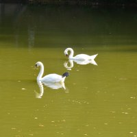 а белый лебедь на пруду.... :: Галина R...