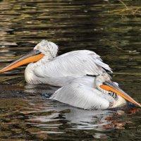 Братья-пеликаны :: Елена Богос