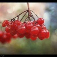 Калины красной гроздь.... :: Елена Kазак