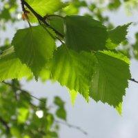 Нежная листва :: Олег Фролов