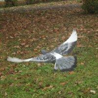 Полет голуби над землей. :: Олег Фролов