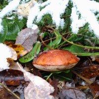 Грибы под снегом. :: Елена Бушуева