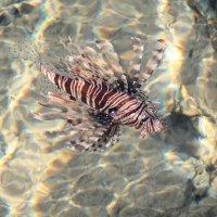 обитатель красного моря :: Мария Зверева