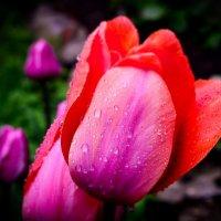 Тюльпан после дождя. :: Edward J.Berelet