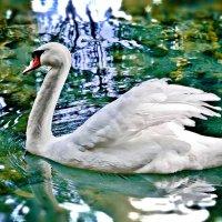 Белый лебедь. :: Edward J.Berelet