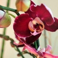 Орхидея :: Виктория Пышненко