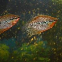 мой аквариум :: Kio11 Андросов