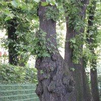 Деревья Летнего сада :: Ольга Иргит