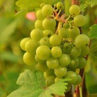виноград :: Juliya Fokina