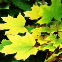 Осенние листья :: Вера Бойко