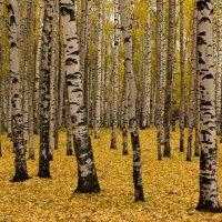 Осенний берёзовый бал... :: Сергей
