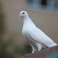 голубка :: влад Кубов
