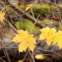 Кленовые листья на ветру. :: Лазарева Оксана