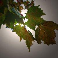вот такие листья :: Leha F
