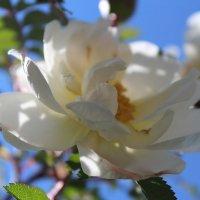 Белая роза :: Наталья ***