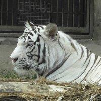 Белый тигр :: Елена Сухенко