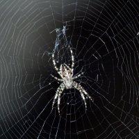 паук :: Александра