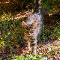Солнечный котенок... :: Елена Васильева
