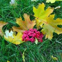 Гроздь рябины и листья кленовые :: Юрий Стародубцев