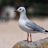 Чайка :: Денис Гадасюк