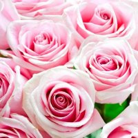 Rose :: Katerina Taran