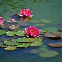 Розовые лилии в Никитском ботаническом саду :: Дмитрий Гришин