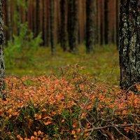 красный черничник :: sergej-smv