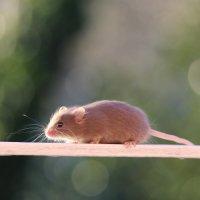 просто солнечная мышка :: Natalya секрет
