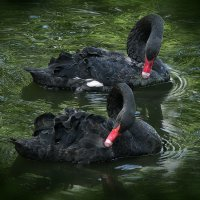 Пара лебедей :: Светлана Шестова