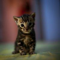маленький тигрёнок :: Антон Лихач