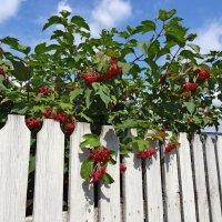 Калина - ягода :: Константин Фролов