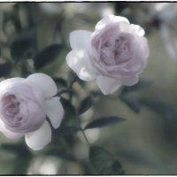 нежные розы :: Sofia Rakitskaia