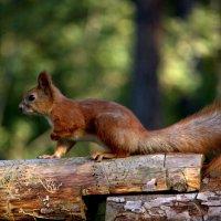 Лесной житель :: Ирина Черепанова