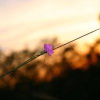 Одинокий полевой цветок :: Светлана Ропина