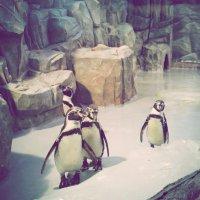 Пингвины :: Наталья ***