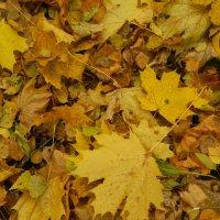 Красивые кленовые листья :: Варвара Савельева