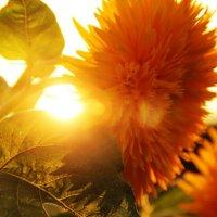 цветок на закате :: Антон Светохин
