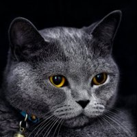 Плюша британская кошка-из серии Кошки очарование мое! :: Shmual Hava Retro