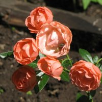Розы :: Ольга Иргит