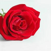 Роза :: Lidiya Dmitrieva